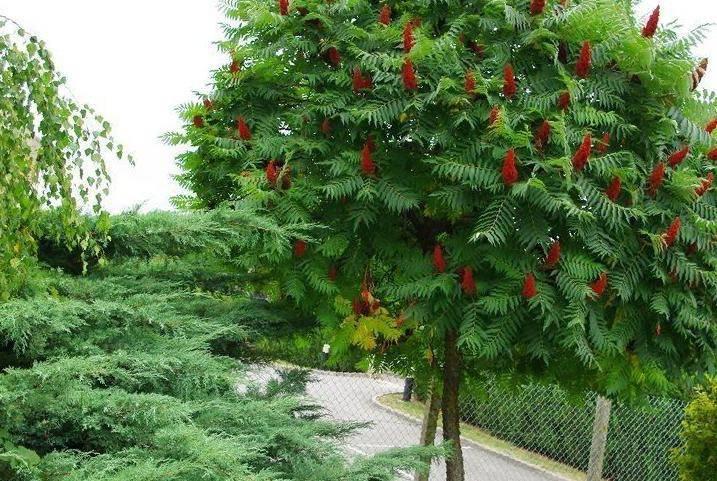 Уксусное дерево : описание, уход, посадка
