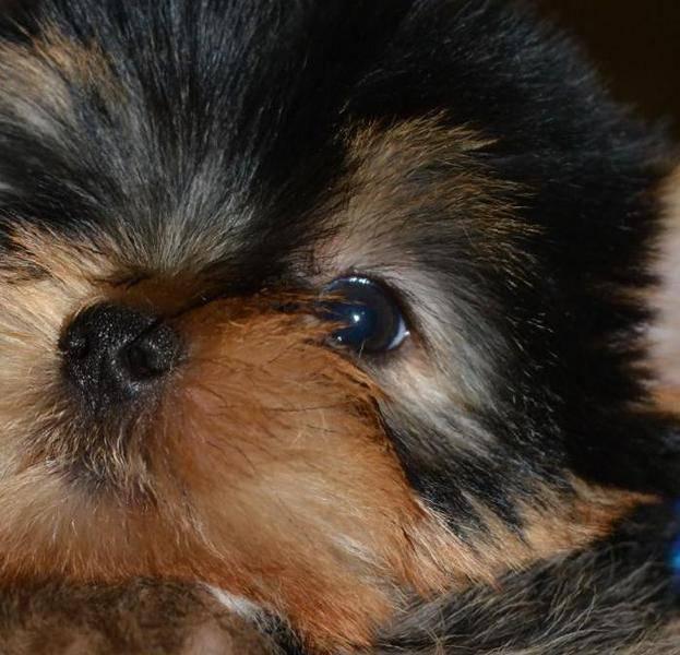 Teacup yorkie puppies cute