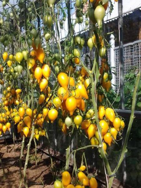 Томат золотая канарейка отзывы фото урожайность